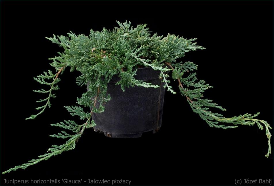 Juniperus horizontalis 'Glauca' - Jałowiec płożący 'Glauca' pokrój