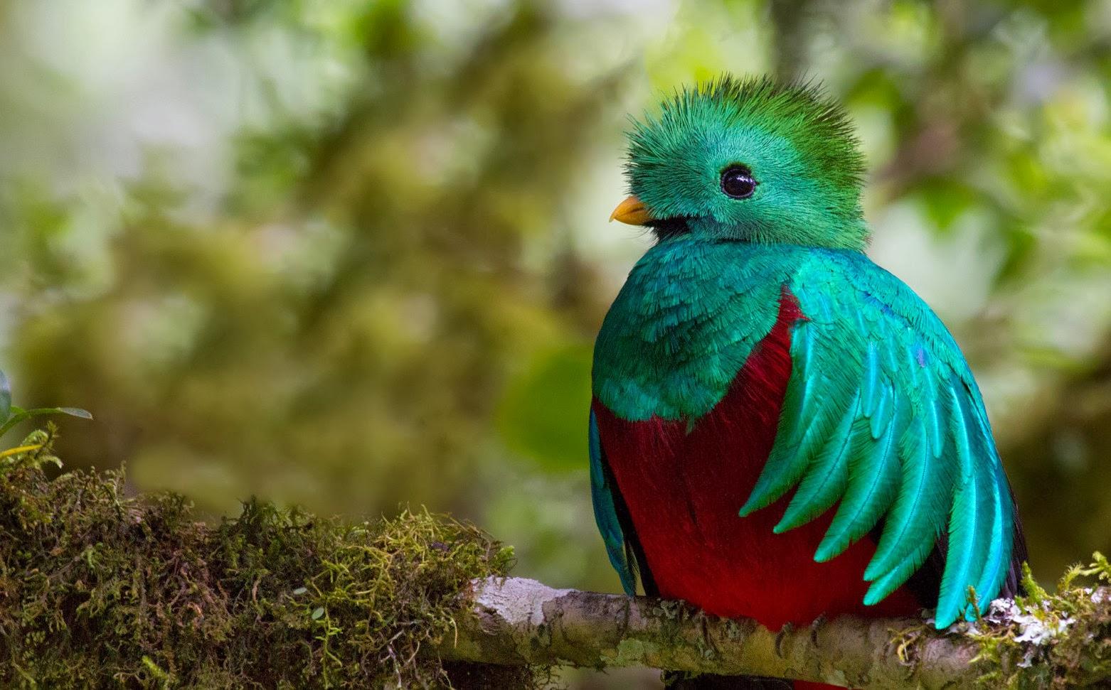 Resplendent Quetzal | Remarkable Pictures