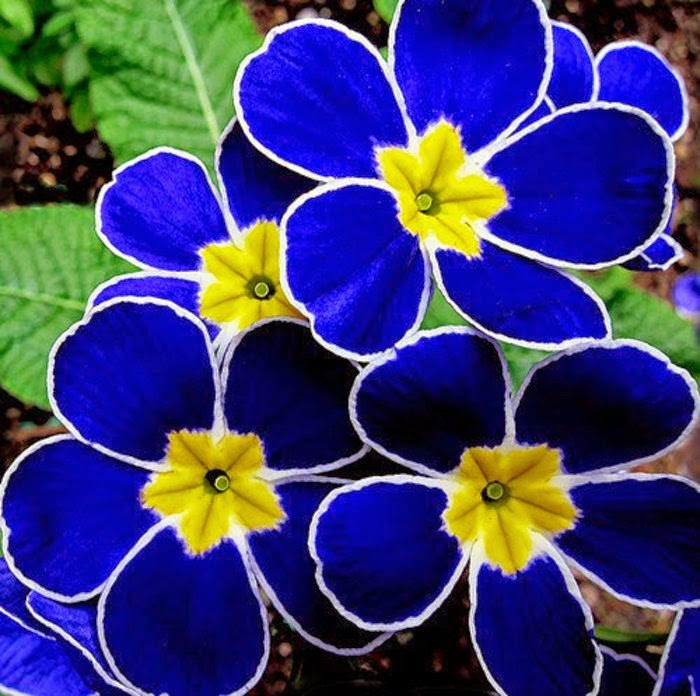 اجمل ما انتجت الطبيعه من زهور زرقاء اللون ( 18 صوره ) لا تفوتكم رؤيتهم !!