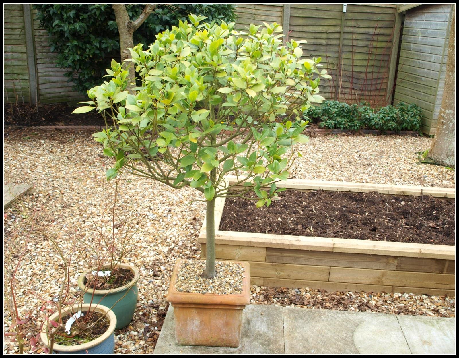 Mark 39 s veg plot re potting bay trees for The best small trees