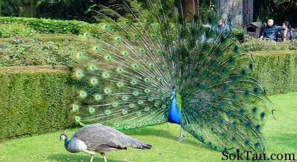 Foto Burung Merak Terbaik