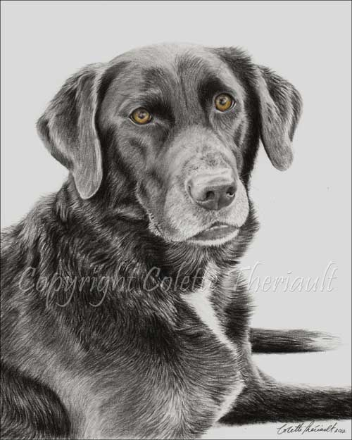 Chocolate Labrador Portrait in Graphite Pencil by Pet Artist Colette Theriault