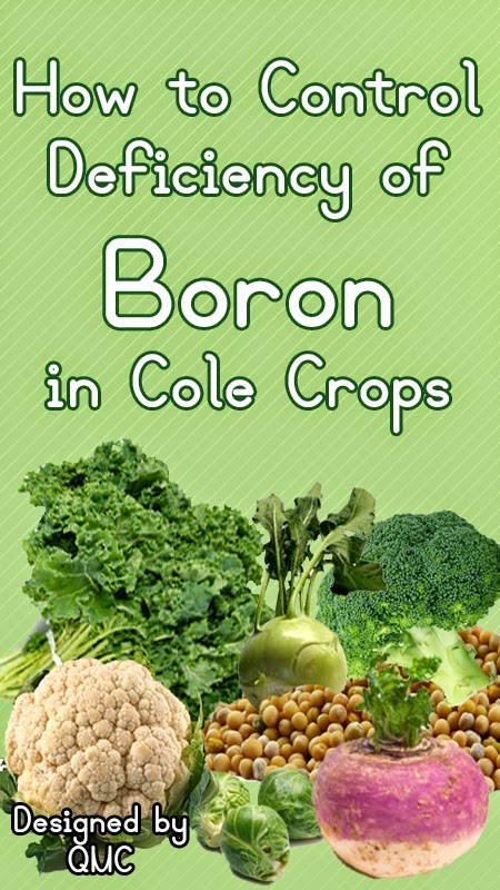 How to control deficiency of boron in Cole Crops