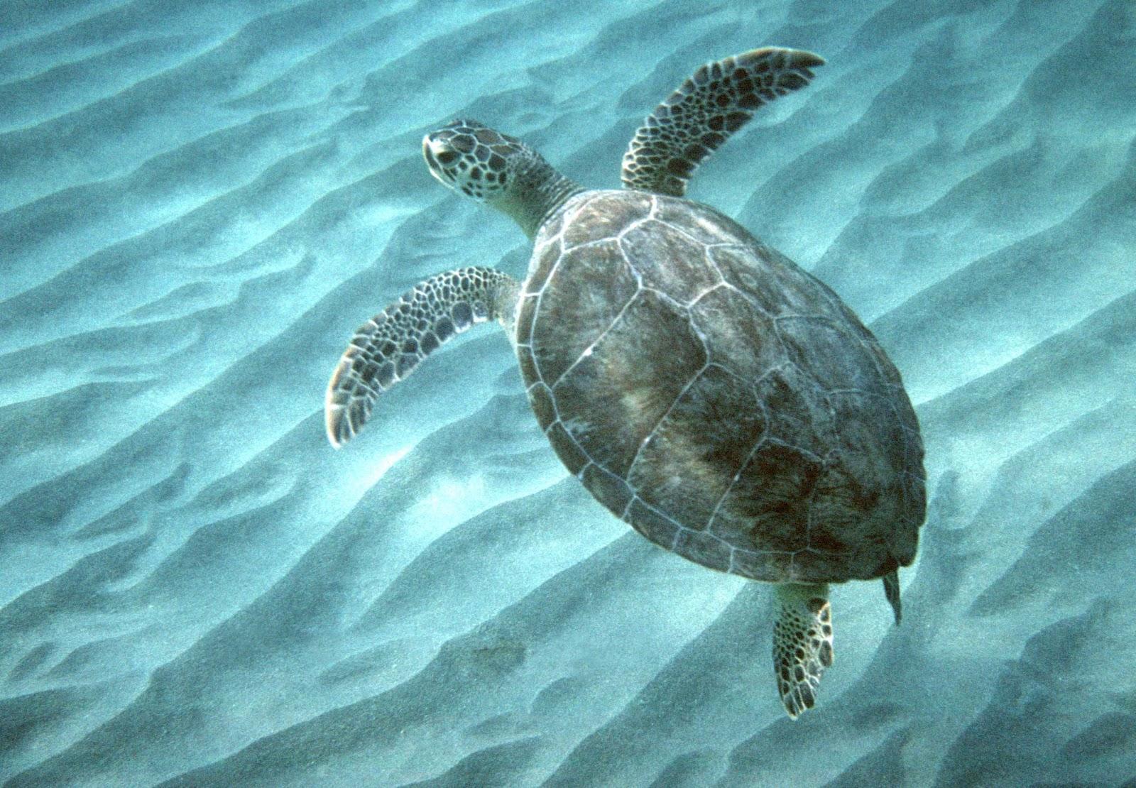 Sea Turtle Baby Swimming Green sea turtles 101