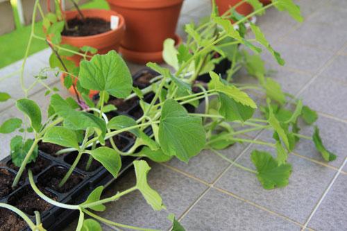 kurpitsan taimet esikasvatuksessa