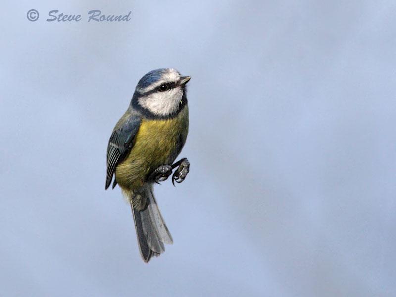 blue tit, bird, nature, wildlife, in flight, flying