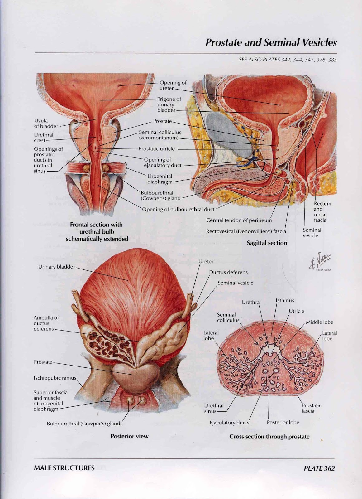 fungsi dari uretra
