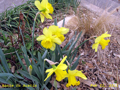 Annieinaustin, February daffodils