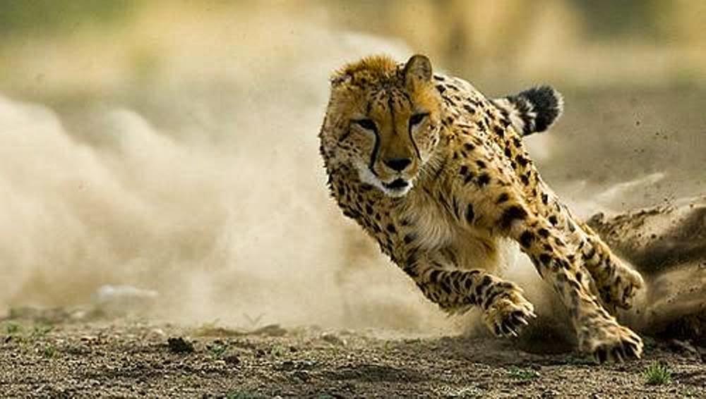 guepardo sprintando