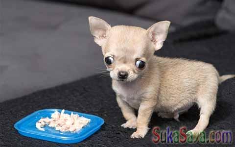 Anjing Terkecil Di Dunia