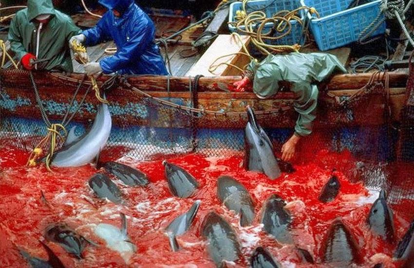 A cruel e chocante caça aos golfinhos em Taiji