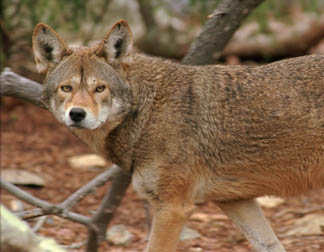 top 10 red wolf