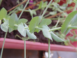 Growing sweet pea from seeds