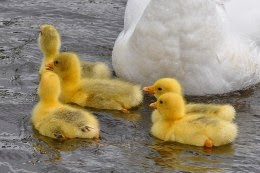 Embden geese and goslings