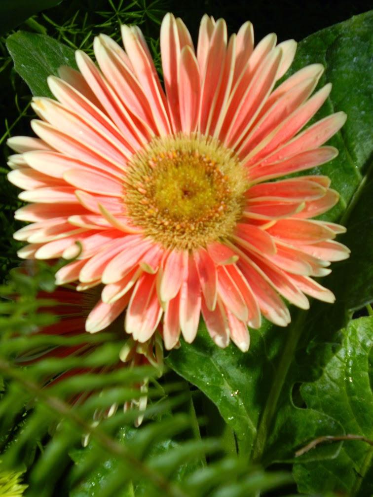 Allan Gardens Conservatory 2015 Spring Flower Show pink gerbera daisy by garden muses-not another Toronto gardening blog