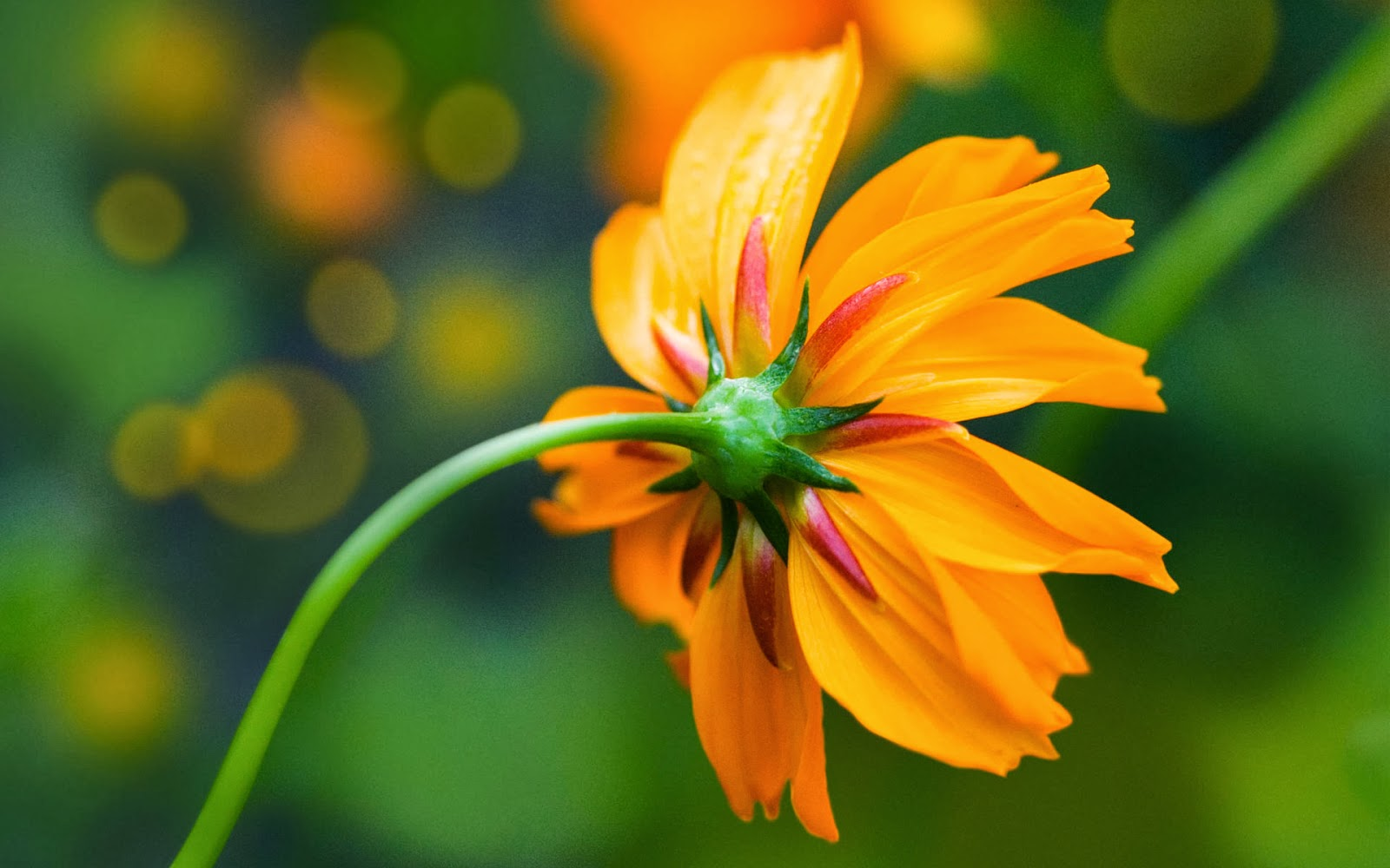 "<img src=""http://1.bp.blogspot.com/-BzezLUBi7Lc/UulZW6begMI/AAAAAAAAKpg/kqlJknNucvE/s1600/orange-daisy-wallpaper.jpg"" alt=""orange daisy wallpaper"" />"