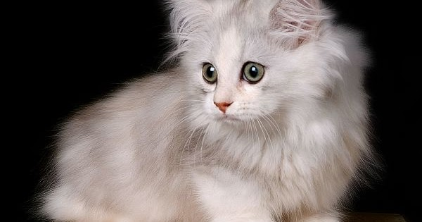 Cat Breeds That Do Not Have A Undercoat