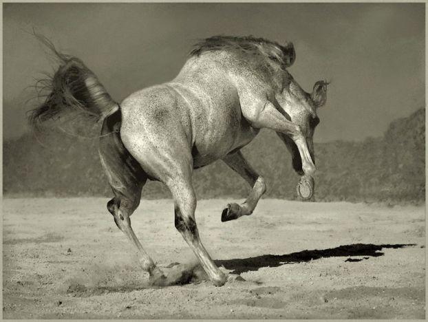 чёрно-белое фото лошадей
