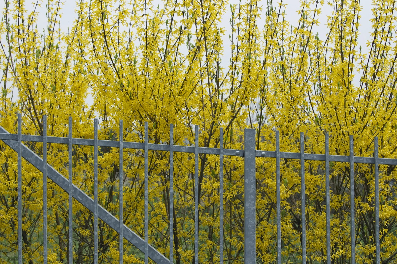 blooming yellow forsythia