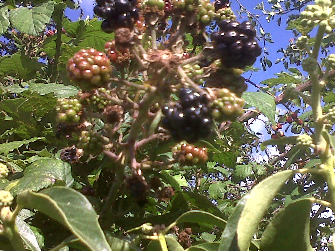 blackberry picking seamus heaney Blackberry picking the adult poet recalls a pleasure event from childhood, the enjoyment of a family activity that appealed to all the senses heaney show-cases his.