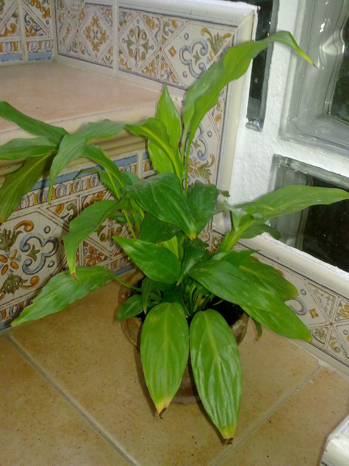 Que plantas poner en el interior de mi casa - Plantas del interior ...