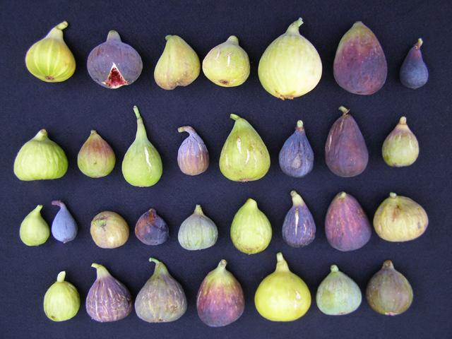 Purple Smyrna Fig | Dave Wilson Nursery