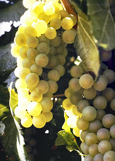 Chardonnay grown in Colorado