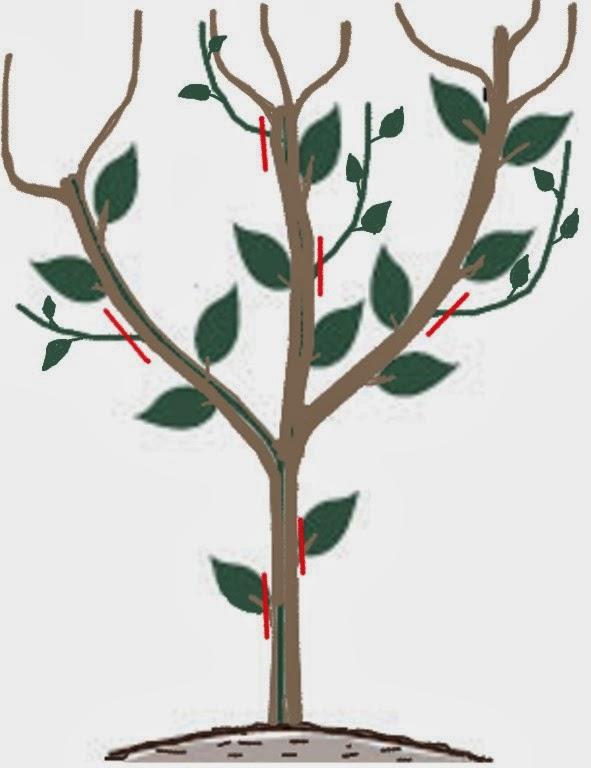 La poda del cerezo great la poda del cerezo with la poda - Poda del cerezo joven ...