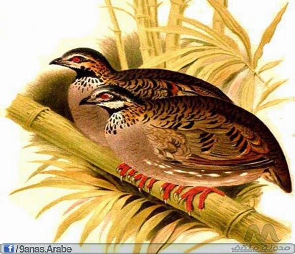 الحجل بيضاء الخدين هو نوع يتواجد ببنغلاديش - الصين - الهند - ميانمار.تعيش بالموائل الطبيعية - الغابات - الأراضي المنخفضة أو شبه المدارية الرطبة - الغابات الجبلية الرطبة شبه الاستوائية أو المدارية. وهو الطيور المهددة