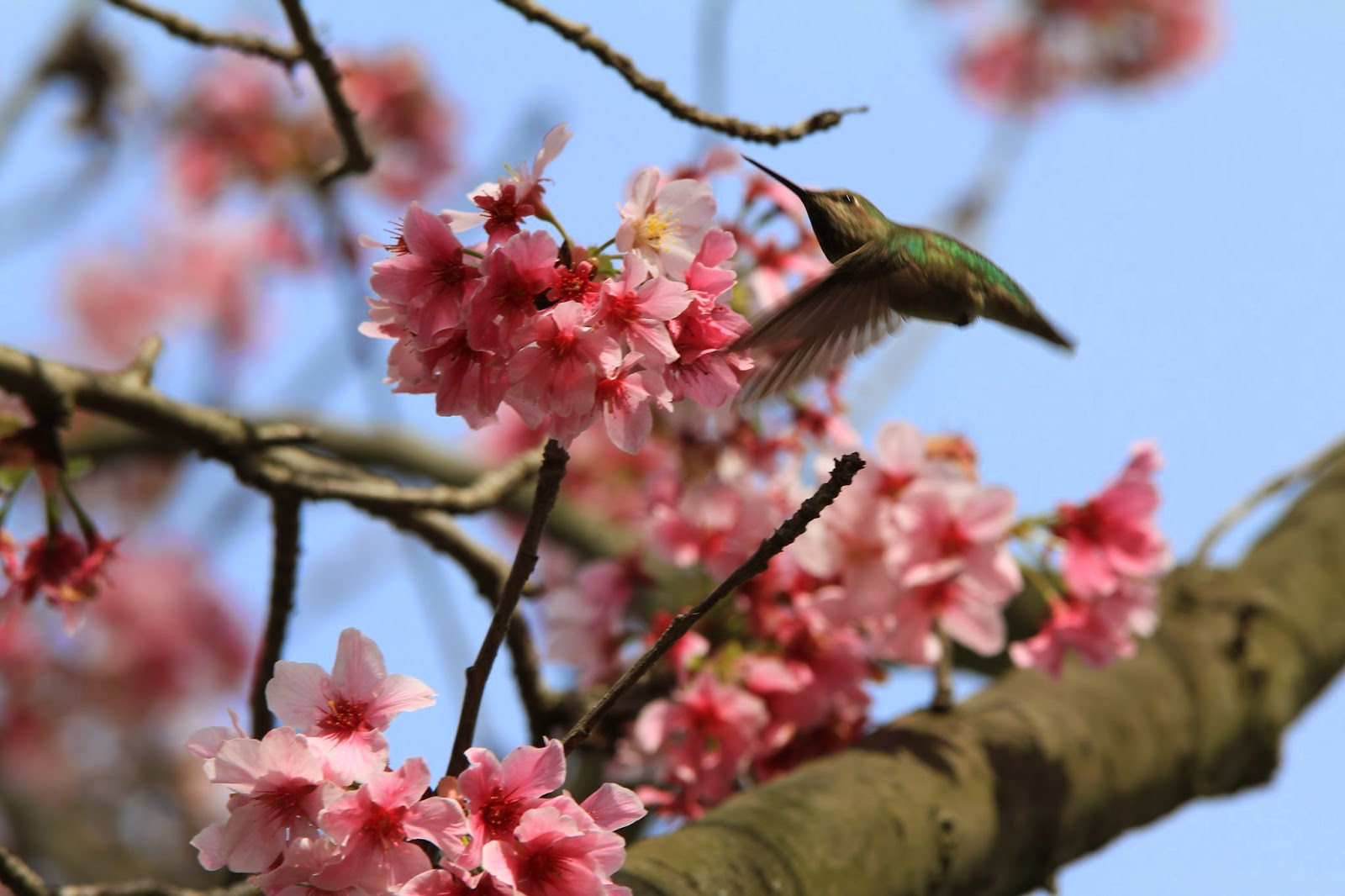 RIGHT A Small Feathered Visitor Joined The Days Hanami Making Feast Of Blossoms Date For Huntington Beach Sister Citys Cherry Blossom