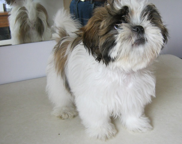 Shih Tzu Haircuts Before And After Photos   Dog Breeds Picture