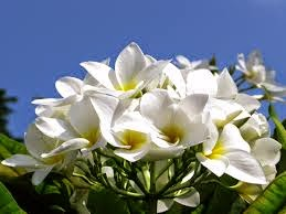 Flor Nacional (Sacuanjoche)