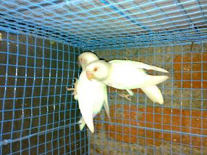 albino yang sudah jodoh