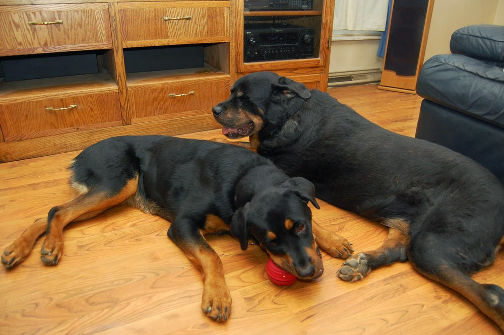 blogs nutritionnuggets jcoates march what is puppy food for large breed dogs