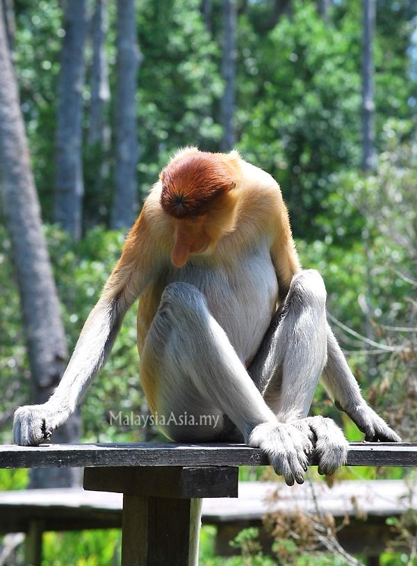 تقرير بالصور: سفاري قمم القرود (مانكي توبس) ، صباح الماليزية
