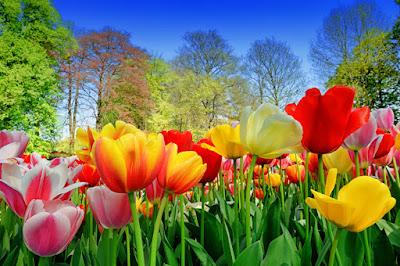 Imágenes de tulipanes de colores flores de primavera