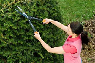 Female cutting shrubs with manual hedge trimmers