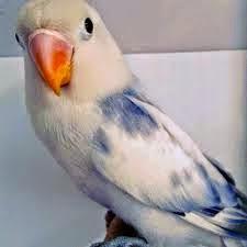 Cara Gampang Merawat Lovebird Biar Gacor