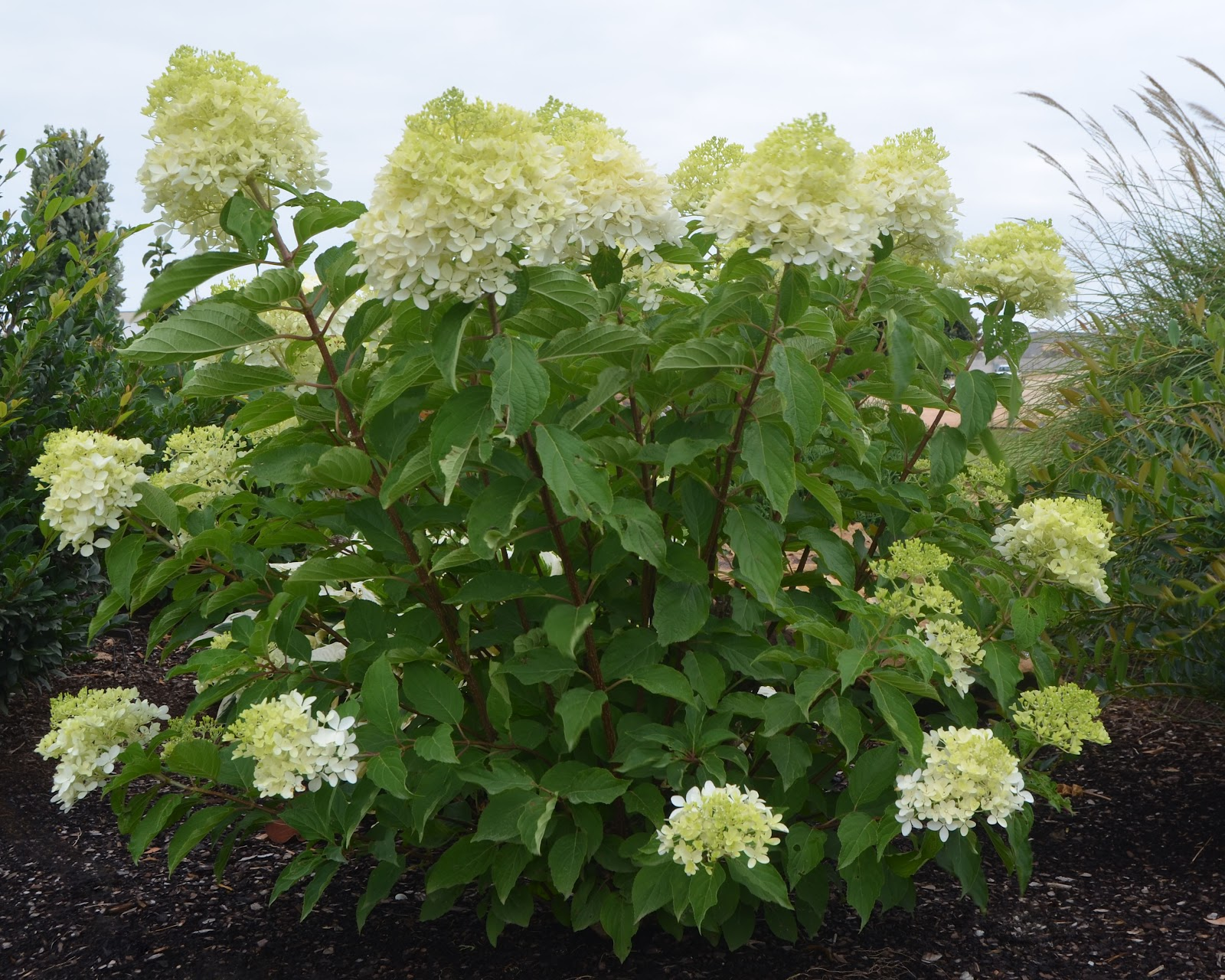 Plant preview how to train a flowering shrub into a for White flowering bush