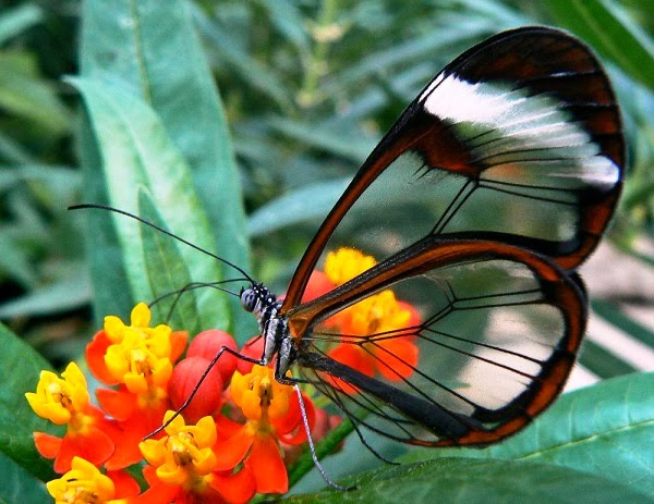Glasswing Butterfly - beautiful insects