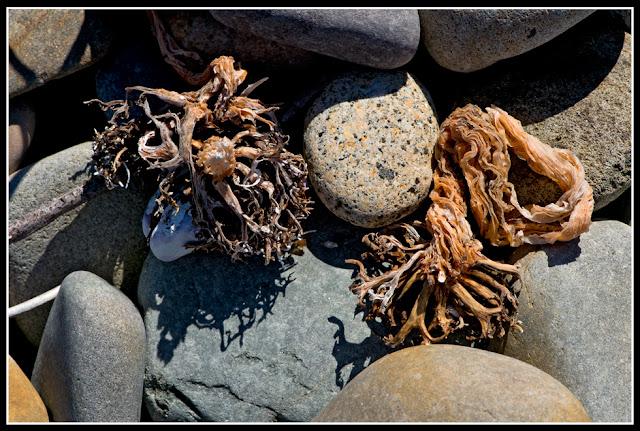 Nova Scotia, Hirtle's Beach; Seaweed