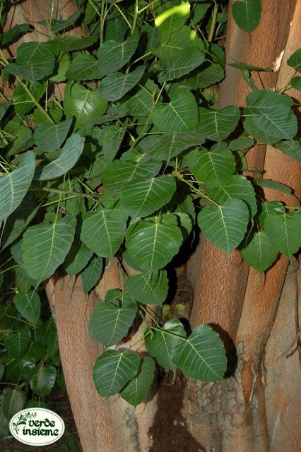 Ficus religiosa un albero che soffre il caldo for Ficus benjamin perde foglie