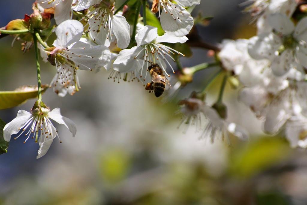 Biene an weißen Blüten