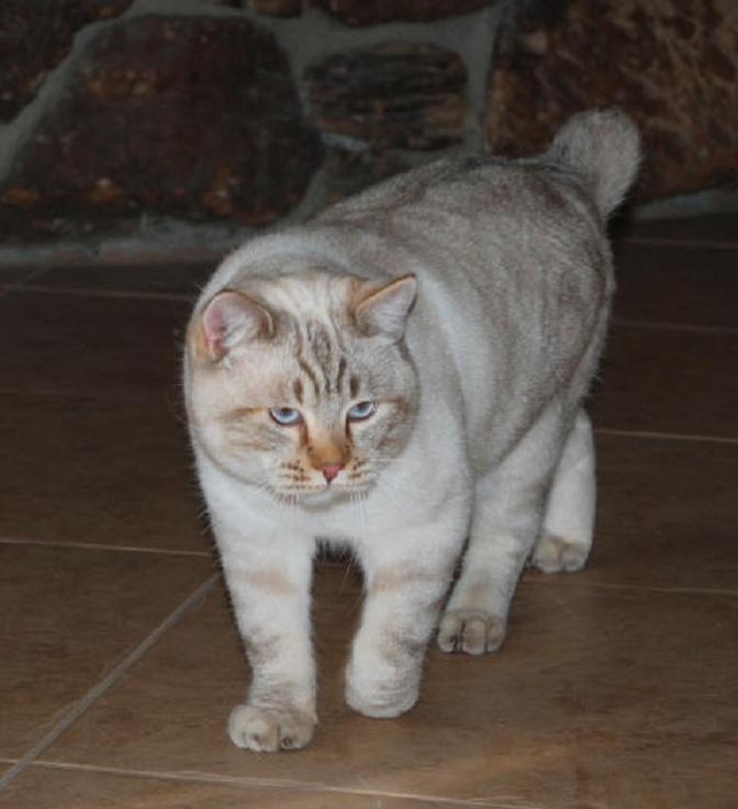 American-bobtail-cats-healthiana