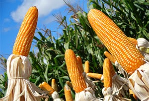 http://www.agrimoney.com/news/brazils-safrinha-corn-sowings-to-fall-for-first-time-in-7-years--7971.html