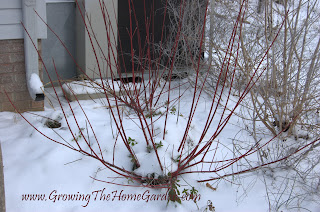 Red Twig Dogwood in snow