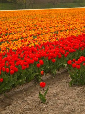 Tulipanes en Hillegom