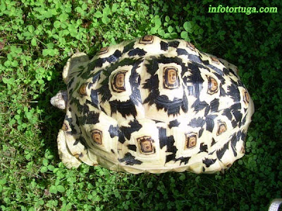 Tortuga leopardo, Geochelone pardalis