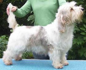 Dog pictures online petit basset griffon vendeen dog breed pictures - Petit basset hound angers ...