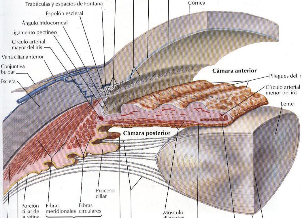 Globo Ocular: Capas del globo ocular y medios refringentes pt. 1